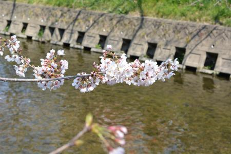 2017桜まつり7