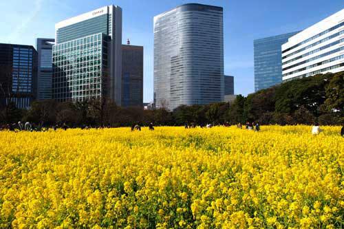 菜の花畑1800-2
