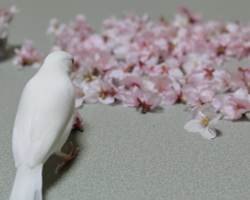 uti sakura (2)