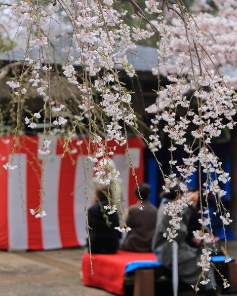 kojou sakura (1)