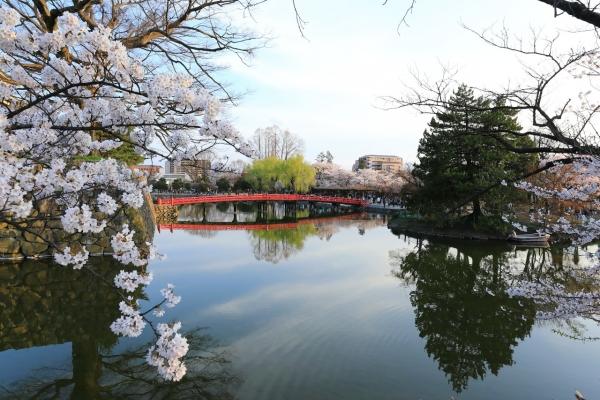 桜の松本城