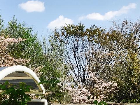 sakuraga_utsukushiinode1.jpg
