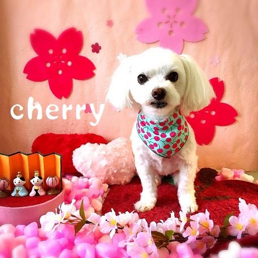 cherry 安部