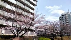 170406sakura1.jpg