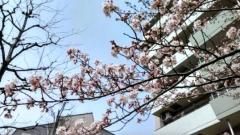170406sakura2.jpg
