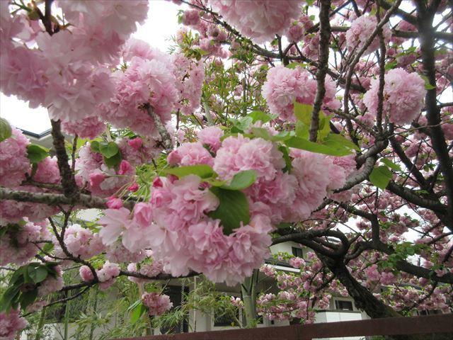 IMG_0831_八重桜 (3)