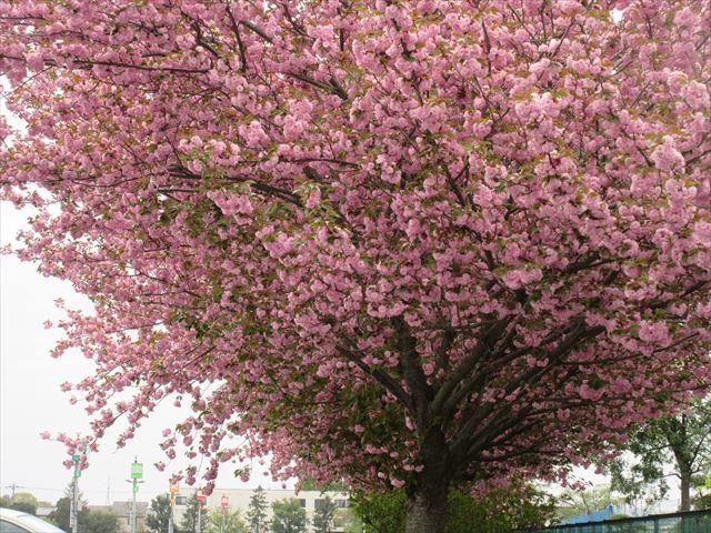 IMG_0831_八重桜 (2)