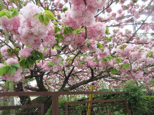 IMG_0831_八重桜 (4)