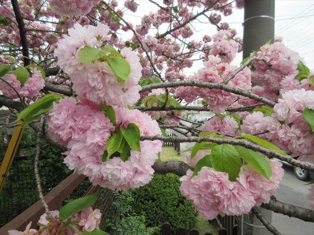IMG_0831_八重桜 (5)
