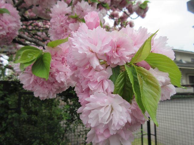 IMG_0831_八重桜 (6)