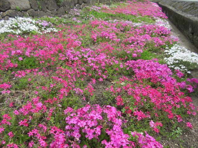IMG_0831_八重桜 (7)