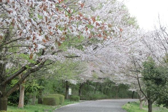 桜 CIMG4646