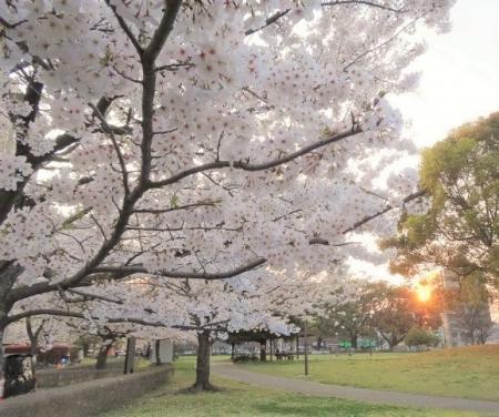 sakura_convert_20170331141639.jpg