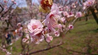 京都・天満宮の梅