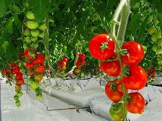 森の国ファームのトマト
