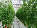 摘み取り体験用トマト