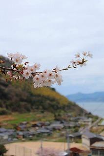 の桜大津島