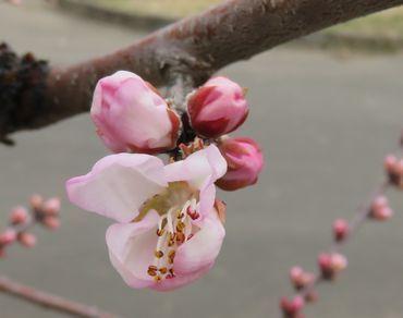IMG_7590魯桃桜