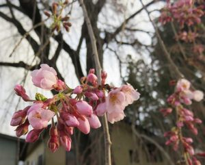 IMG_7898お宮しだれ桜