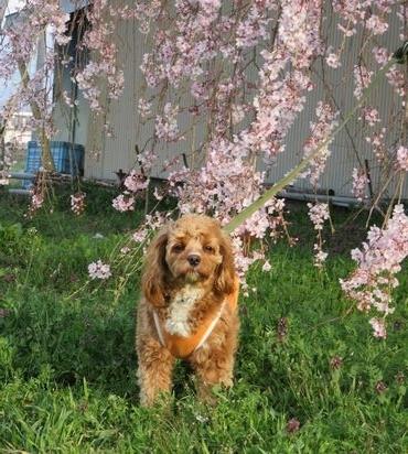 IMG_8055しだれ桜
