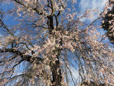 IMG_8093しだれ桜