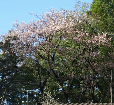 IMG_8097境内ソメイヨシノ