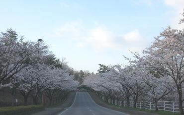 IMG_8116桜並木