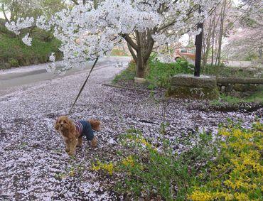 IMG_8442桜吹雪
