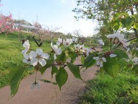 IMG_85845分葉桜