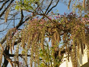 IMG_8588藤の花
