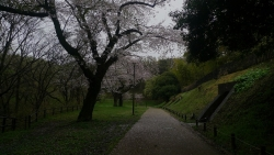 20170408雨の桜2