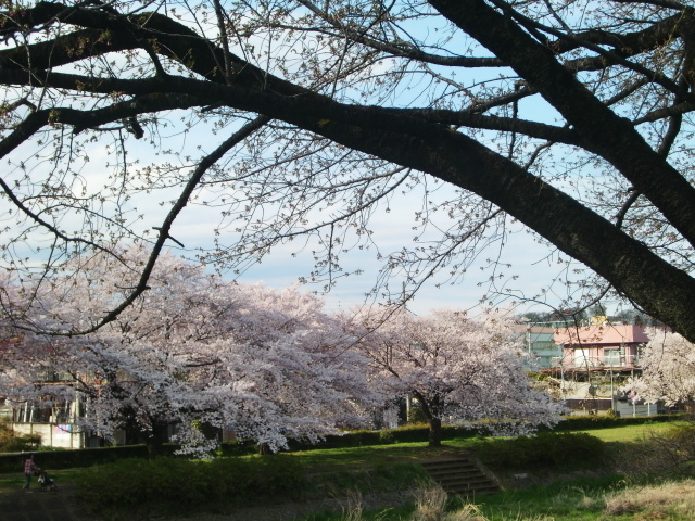 桜'17①