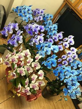 青い胡蝶蘭 ブルーエレガンス 就任祝い 豊川 御津 花屋 花夢