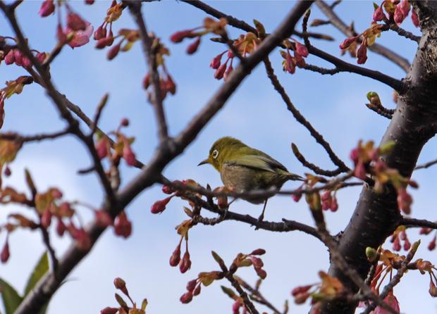 ③桜の蕾とメジロ