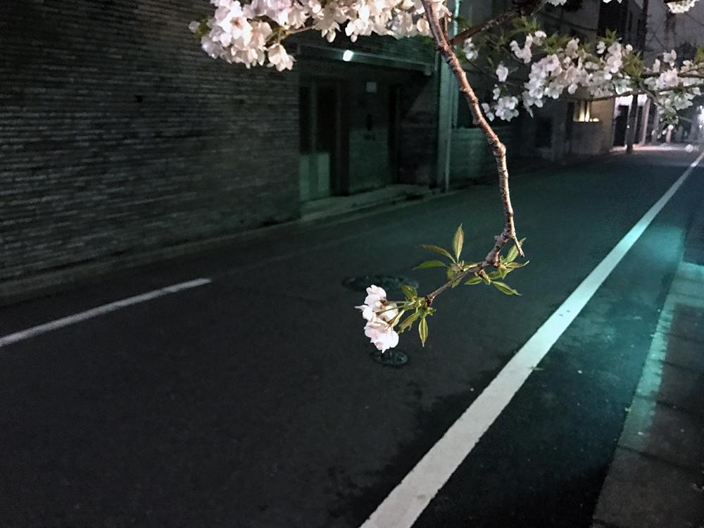 桜、桜、今咲き誇る
