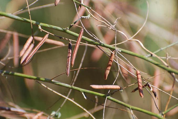 コマツナギの鞘