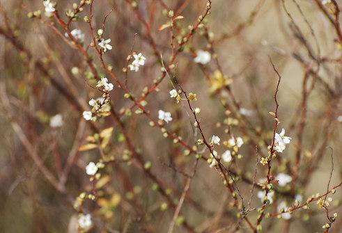 咲き始めたユキヤナギ