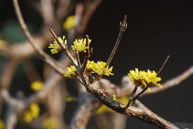 サンシュユの花をアップ