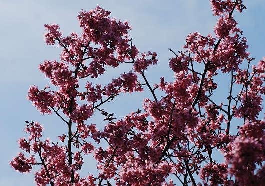 カワズザクラの花が満開