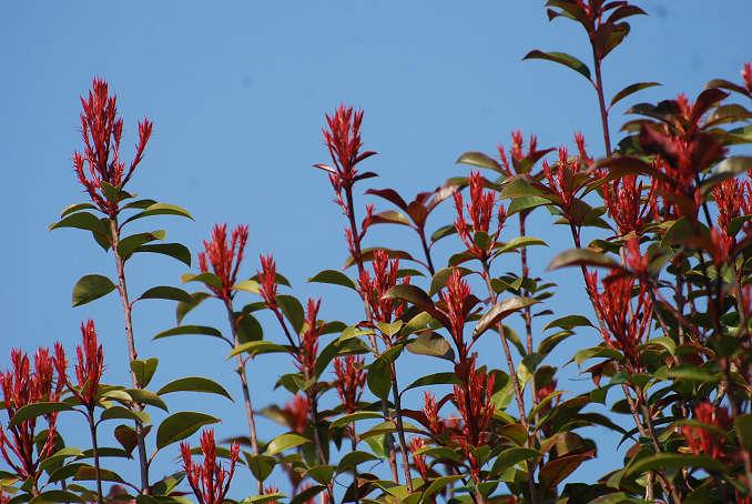 カナメモチの赤い新芽