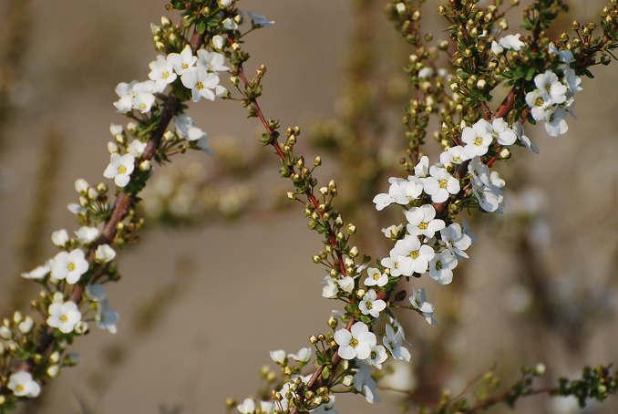 ユキヤナギの花を