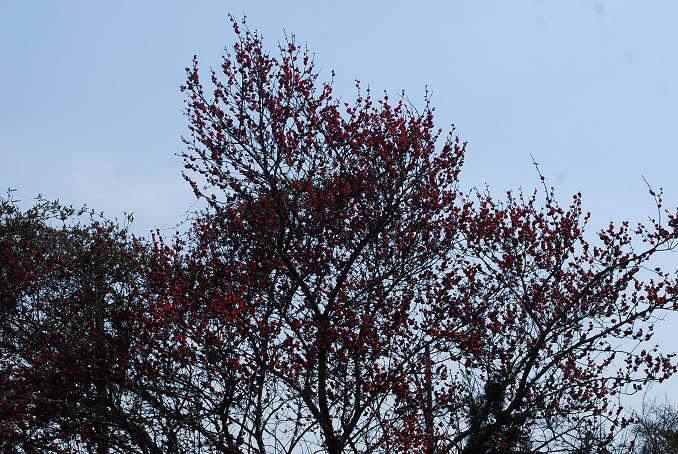 庭の紅梅満開