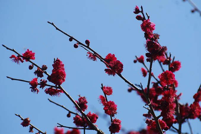 庭の紅梅をアップ