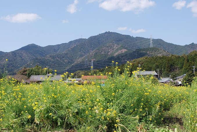 菜の花と本宮山