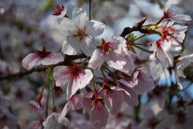 サクラの花をアップ