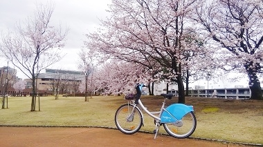 6分咲きの桜