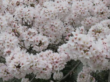 彦根城の桜 (2)