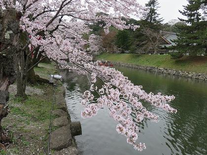 彦根城の桜 (5)