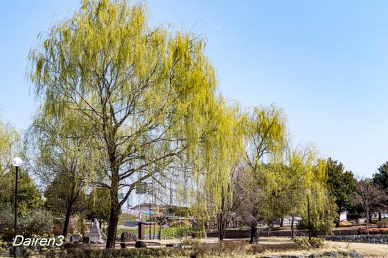 波志江沼の柳