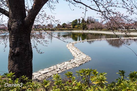 波志江沼の桜